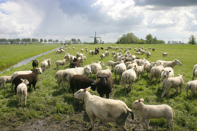 Sheep in dutch landscape stock image