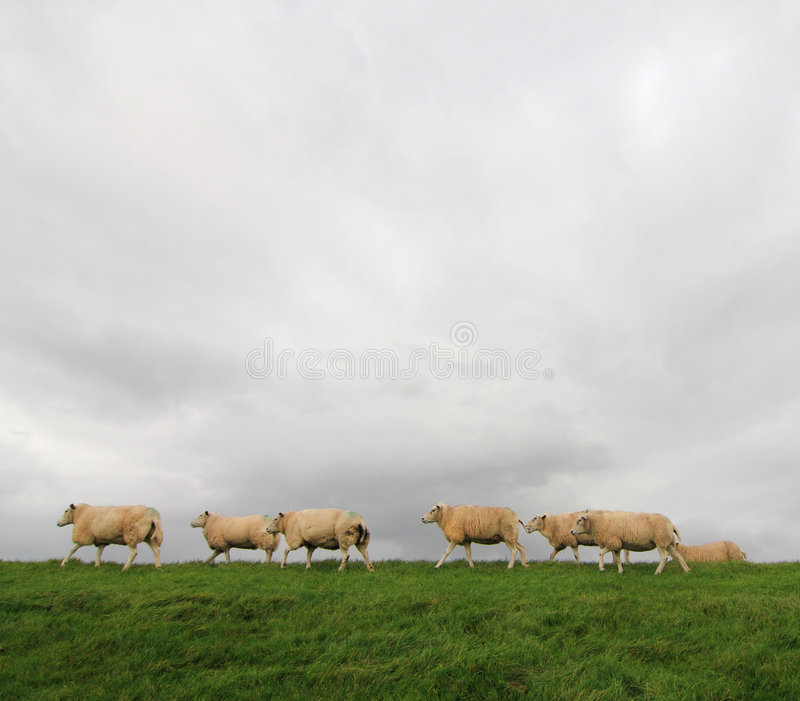 Sheep On A Stock Photography