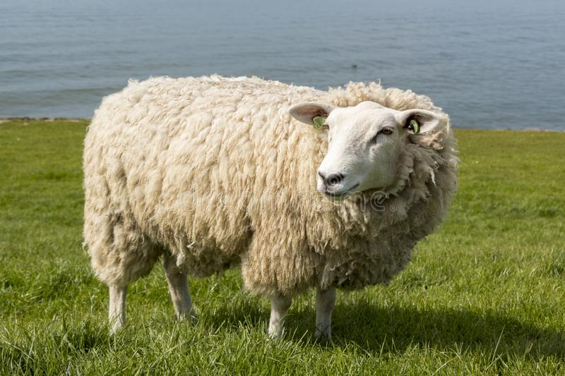 Sheep at the dyke in The Netherlands in springtime. Natural lawn mower, free walking sheep keeping the grass short at the IJsselmeer dyke in The Netherlands stock photo