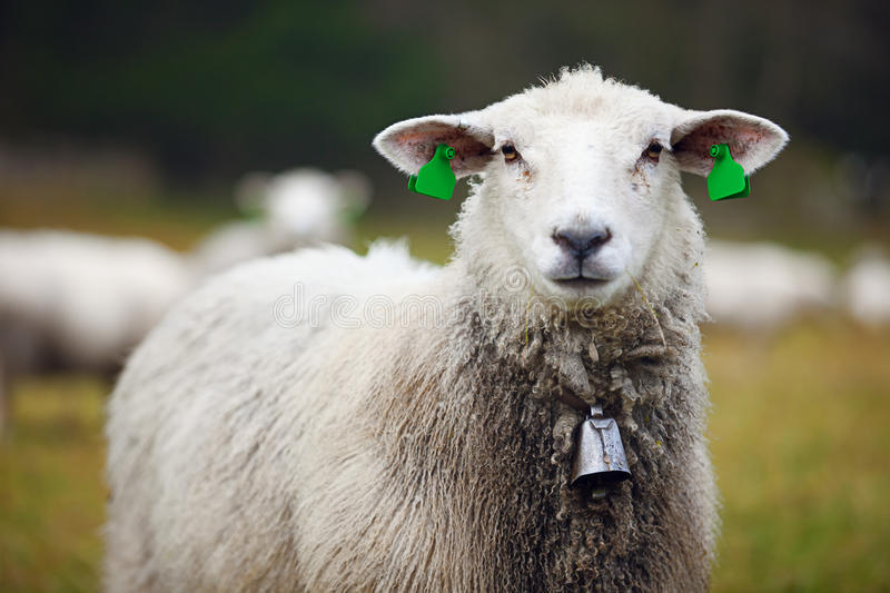 Sheep with ear tags and bell royalty free stock images