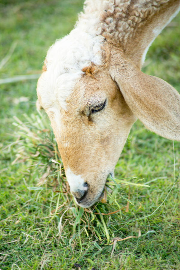Sheep eating in the farm royalty free stock photo