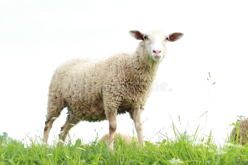 Sheep eating grass stock photos