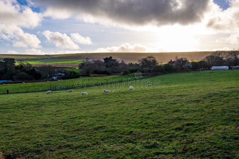 Sheep eating grass on an English farm royalty free stock photography