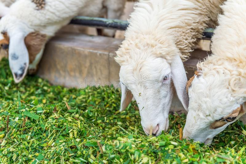 Sheep eating grass. royalty free stock photography