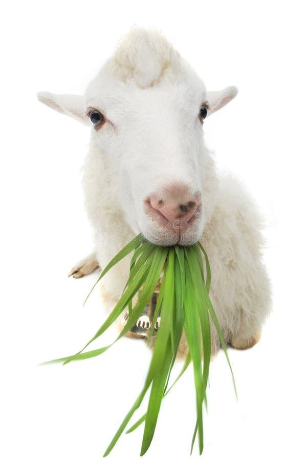 Sheep eating green grass royalty free stock image