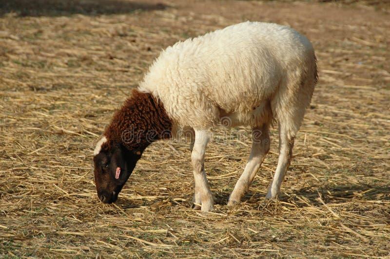 Sheep eating hay straw stock photo