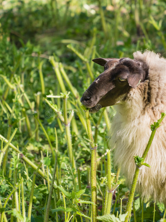 Sheep eating hogweed. A herd of sheep is used to get rid if the skin irritating plant hogweed royalty free stock photos