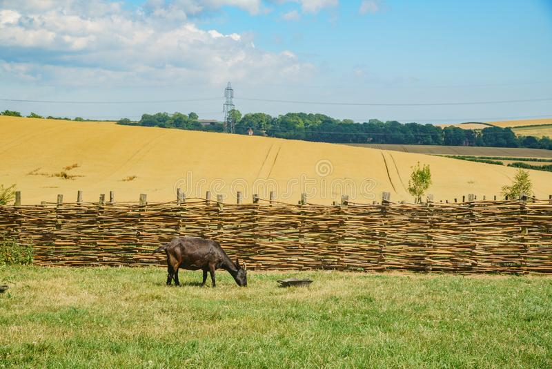 Sheep in the educational Butser Ancient Farm. At Waterlooville, United Kingdom stock photography