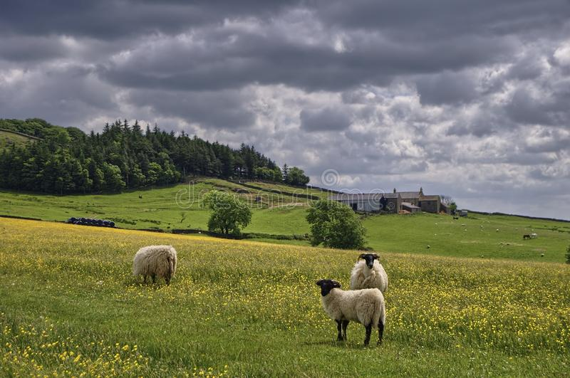 Sheep in English Hay Meadow stock photo