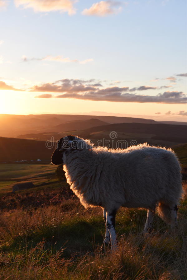 Sheep Enjoying the View stock photo