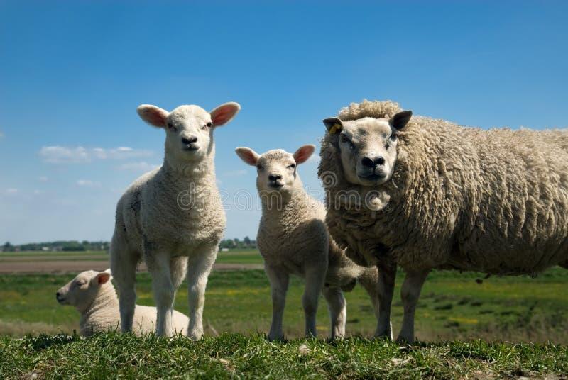 Sheep family stock image