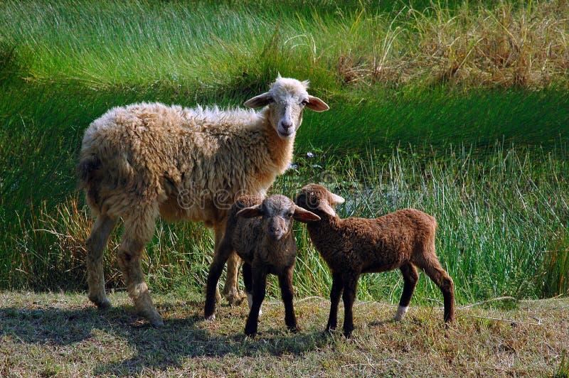 Sheep family. royalty free stock photography