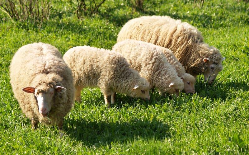 Sheep family royalty free stock photos