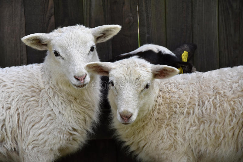 Sheep Family Livestock on a Farm with Young Lambs royalty free stock photography