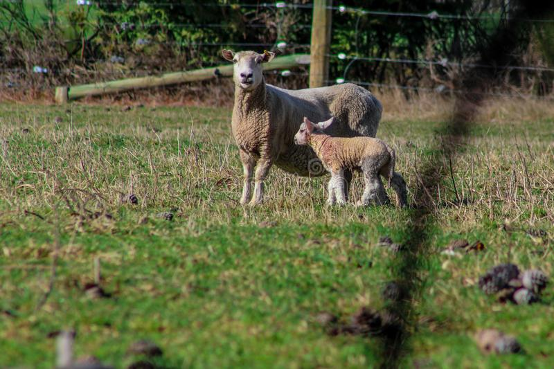 Sheep family in New Zealand, ewe and lamb on green field royalty free stock photos