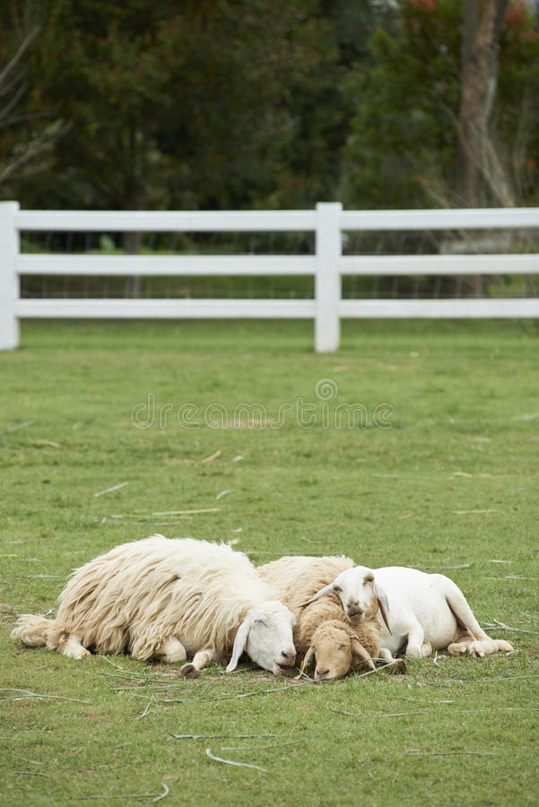 Sheep family sleep together. In the field stock photography