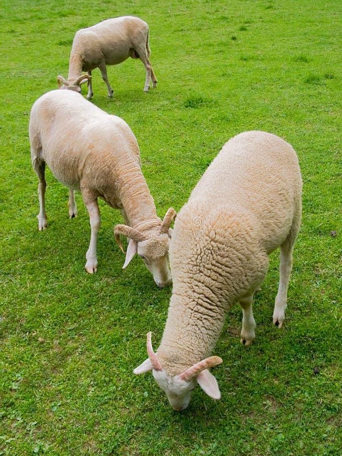 Sheep in farm stock photo