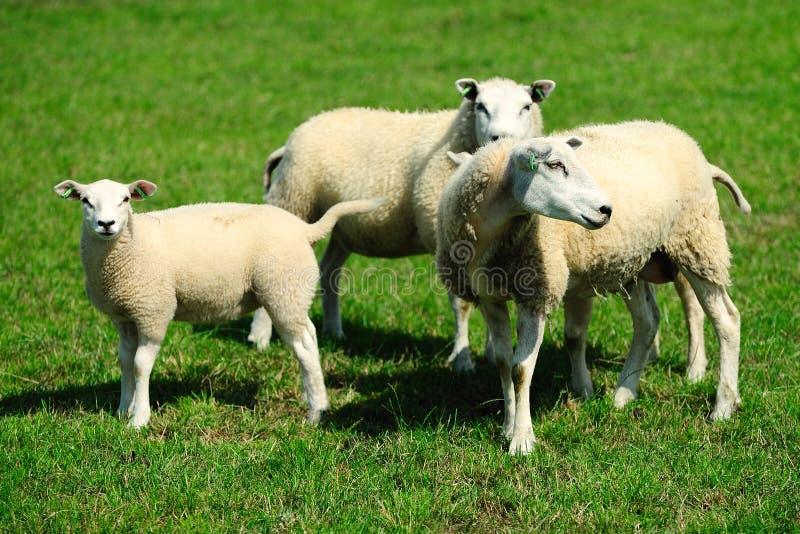 Sheep on a farm. Sheep on a dutch farm stock photo