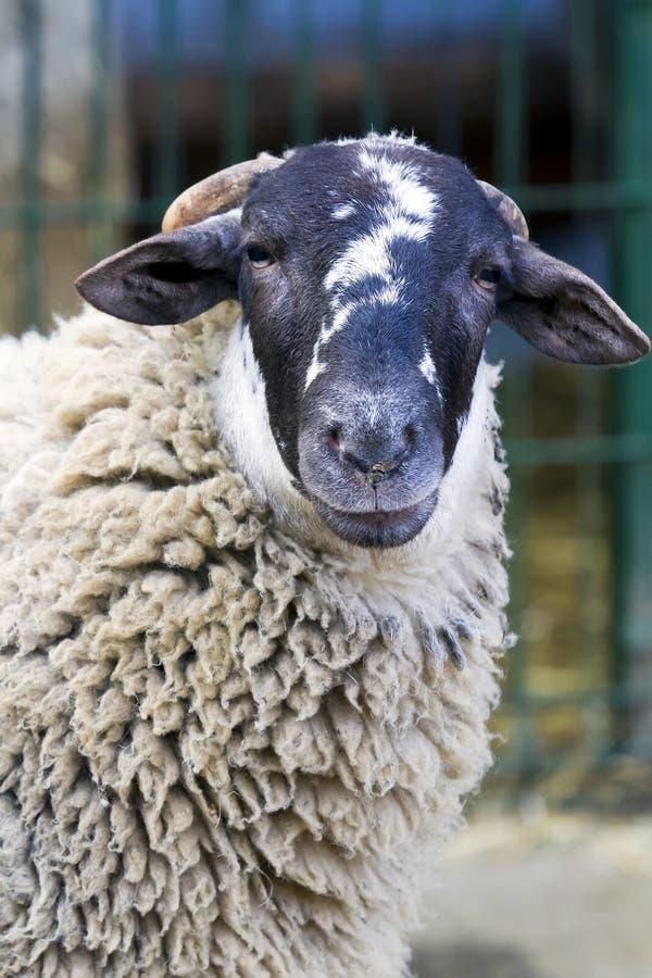 Download Sheep farm stock image. Image of livestock, husbandry - 22927441