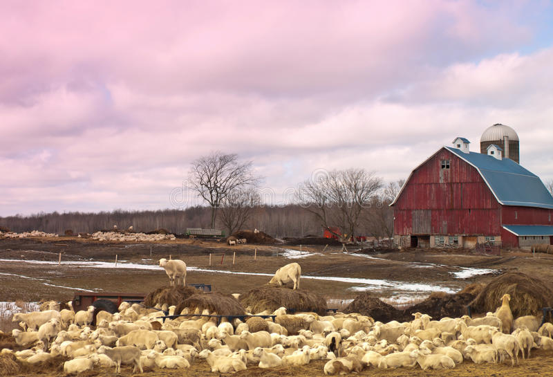 Sheep farm. With hundreds of sheep grazing and relaxing located near gouverneur,new york royalty free stock images