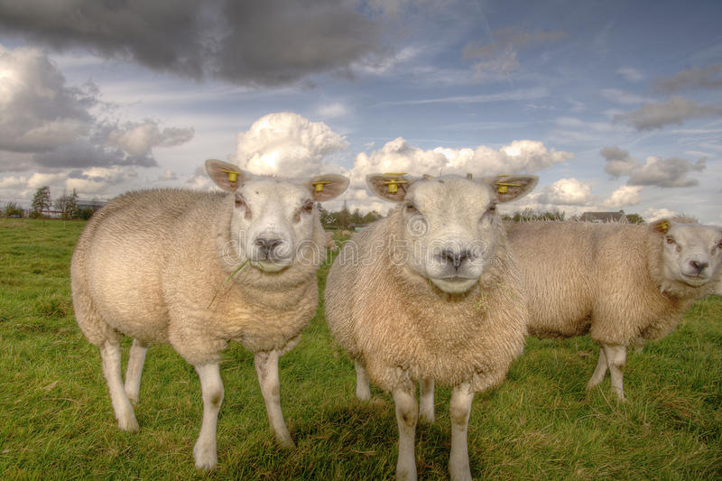 Sheep On A Farm Stock Photography