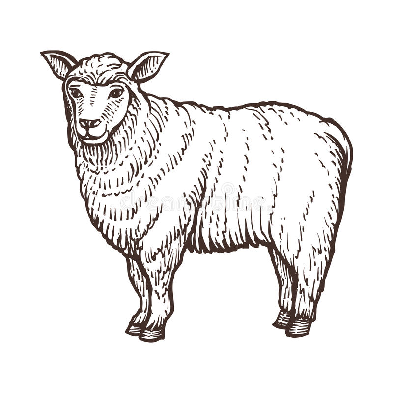 Sheep farm animal sketch, isolated sheep mammal on the white background. Vintage style. Vector illustration royalty free illustration