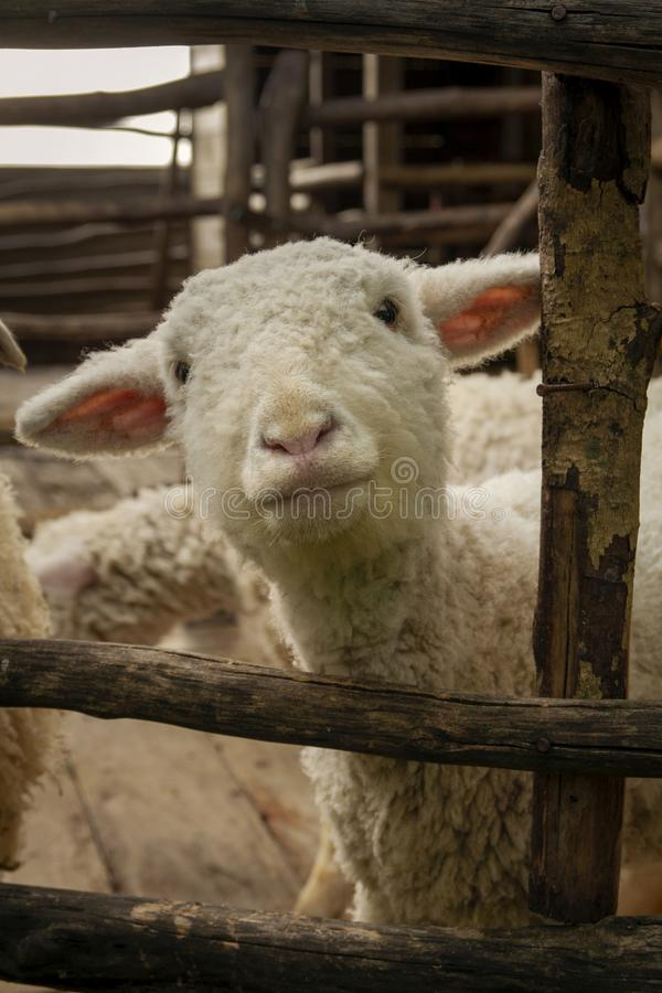 Sheep in the farm close-up picture.  royalty free stock images