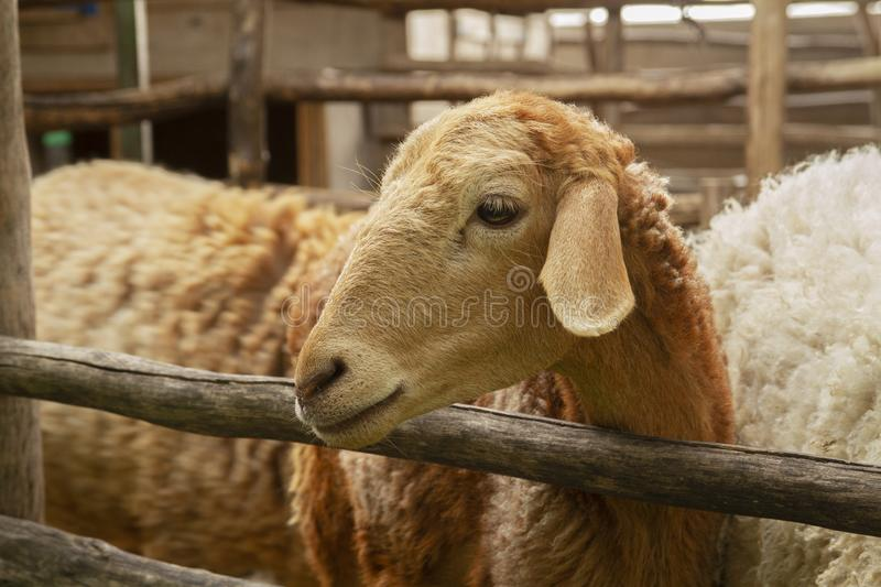 Sheep in the farm close-up picture.  royalty free stock photo