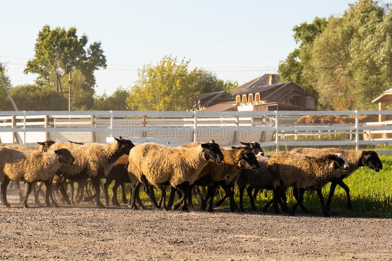 Sheep on the farm in the evening back from the pasture royalty free stock images