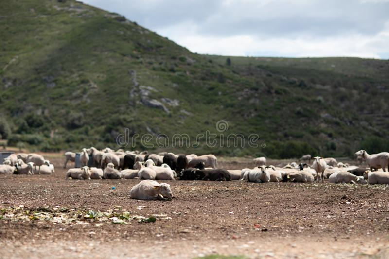 Flock of sheep in the field stock images