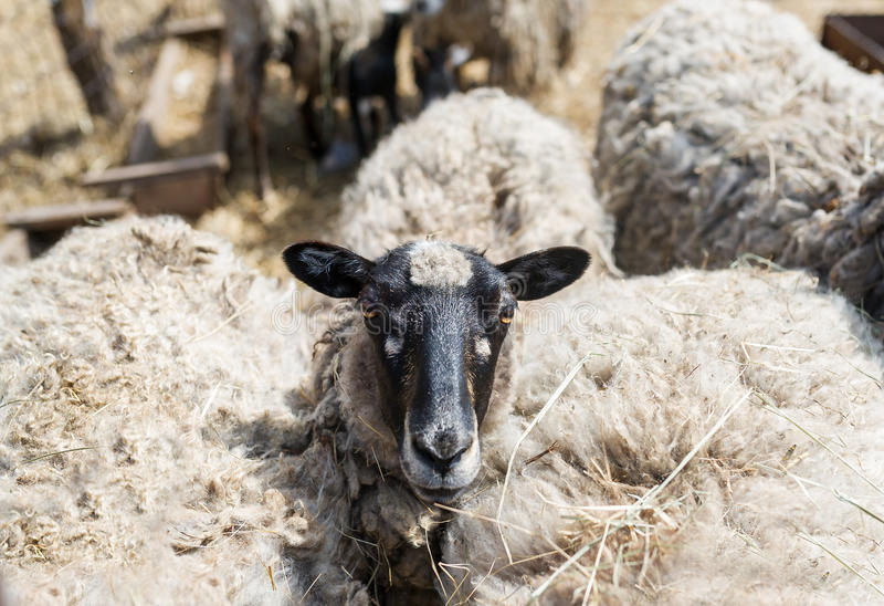Sheep in the farm. Livestock farm. Flock of sheep stock images