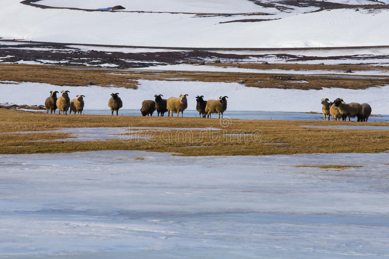Sheep farm over snow ground. Iceland winter season natural landscape background royalty free stock photography
