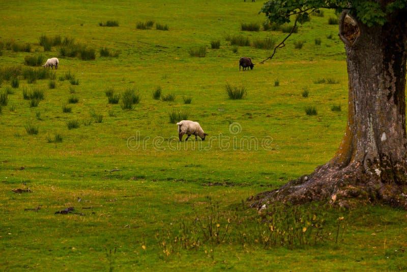Download Sheep in farm stock image. Image of skin, farm, sheared - 33265631