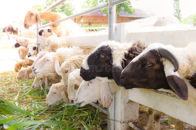 Sheep in farm,thailand. Closeup sheep in farm,thailand stock image