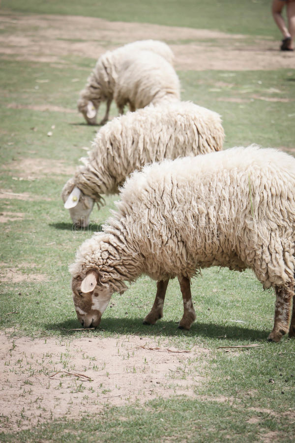 Sheep in the Farm royalty free stock photo