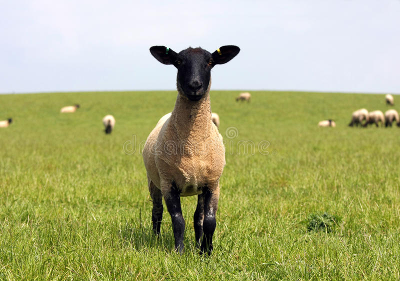 Download Sheep stock photo. Image of agricultural, adult, field - 40025986