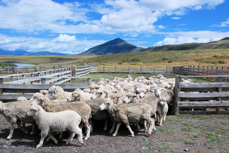 Sheep farming in Patagonian estancia Chili with landscape, clouds Sheeps walking out of fence. Sheeps walking out of fence Patagonian estancia – farming stock photo