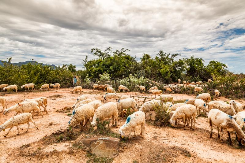 Sheep farming in Phan Rang, central of Vietnam. The only one place of the country people can produce mutton and sheepskin stock image