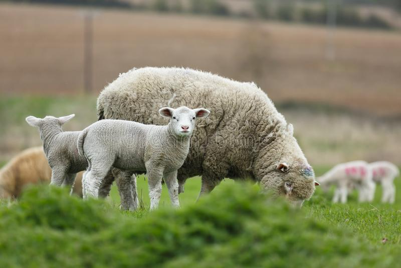 Sheep farming, UK stock photo
