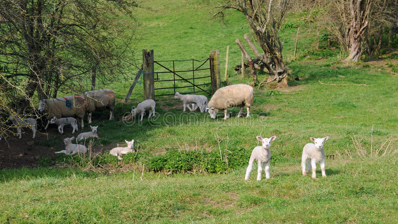 Download Sheep on Farmland stock image. Image of background, backgrounds - 25220553