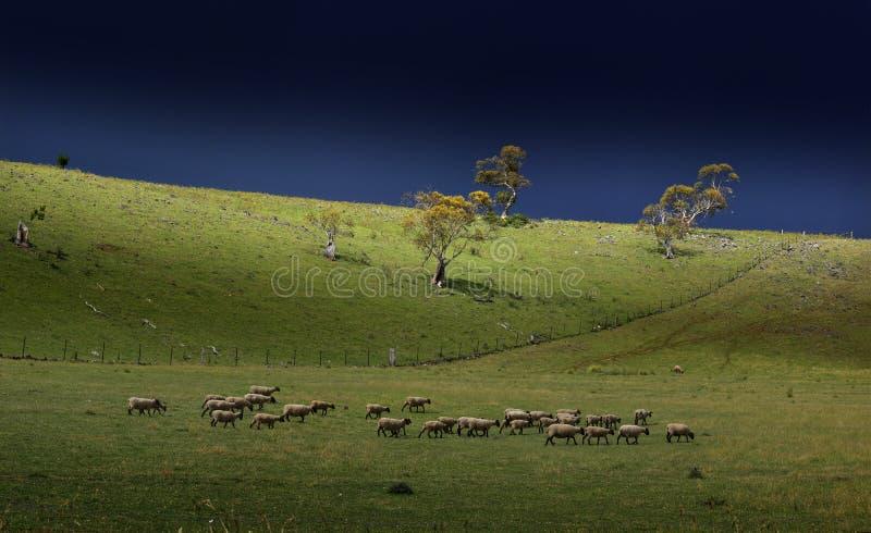 Coastline Australia_. Sheep at farmland coastline NSW Australia, landscape, Sydney at Coastline Australia royalty free stock photography