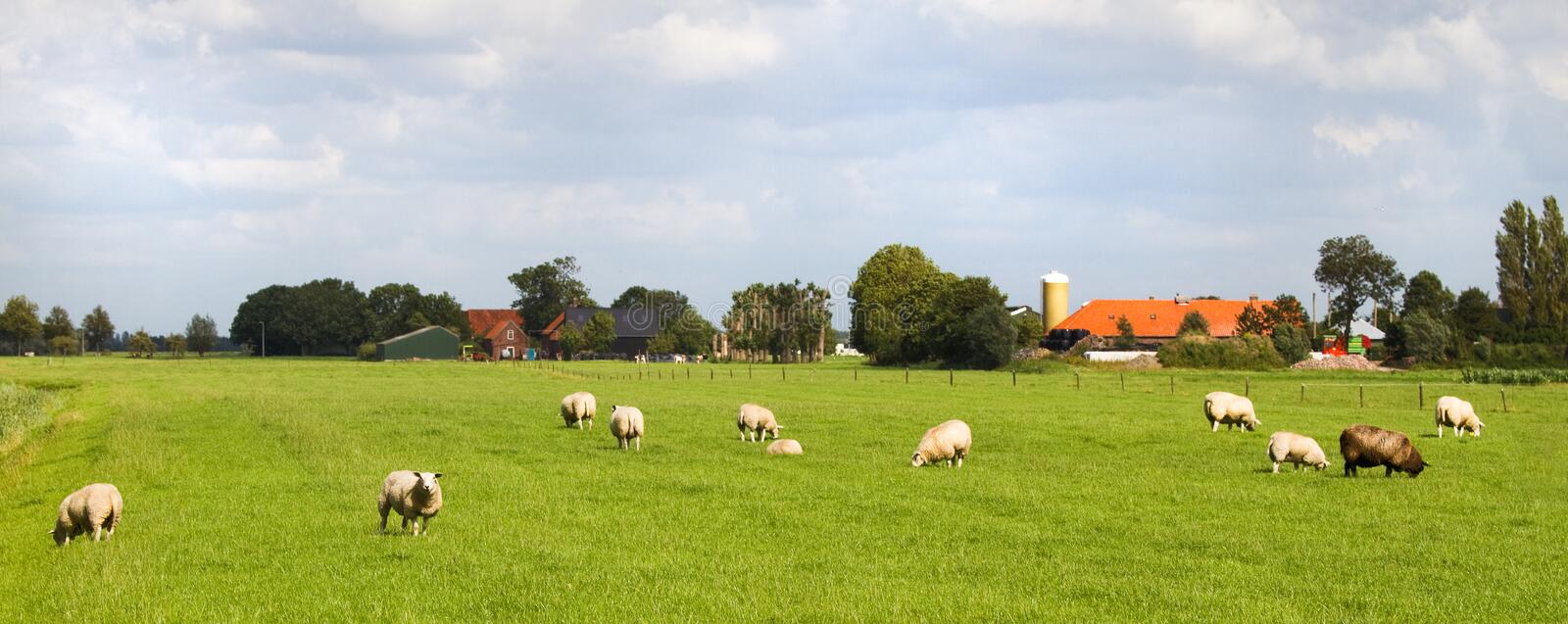 Sheep And Farms In Dutch Landscape Stock Photo