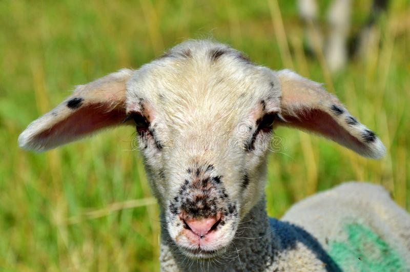 Sheep, Fauna, Horn, Cow Goat Family royalty free stock photos