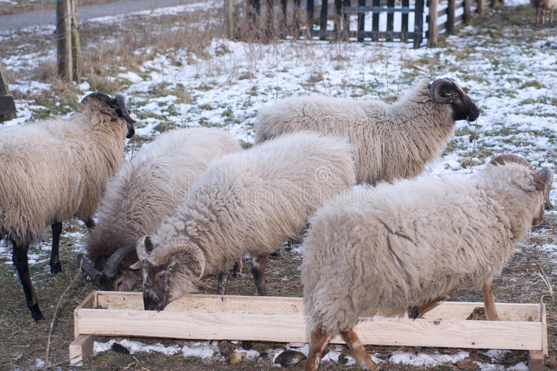 Download Sheep feeding stock image. Image of farm, snow, grazing - 23279257