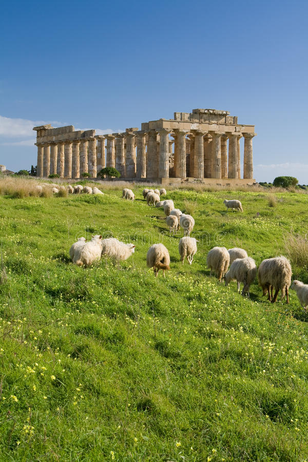 Free Sheep Feeding In Front Of Temple E, Selinunte. Royalty Free Stock Images - 16063859