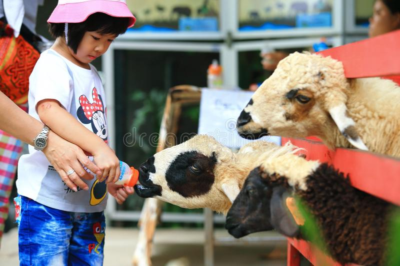 Sheep feeding. Sheep (Ovis aries) are quadrupedal, ruminant mammals typically kept as livestock. Like all ruminants, sheep are members of the order Artiodactyla stock photography