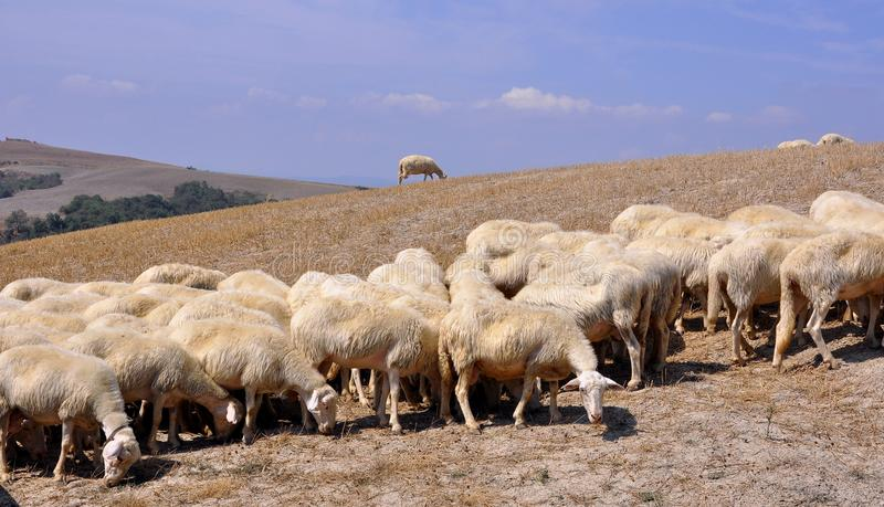 Sheep on a field stock photos