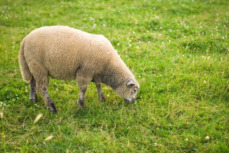 Download Sheep in a field stock photo. Image of animal, mammal - 26522242