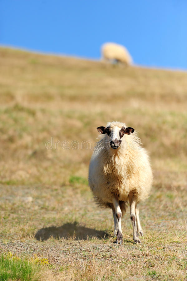 Download Sheep on a field stock photo. Image of australia, animal - 27472610