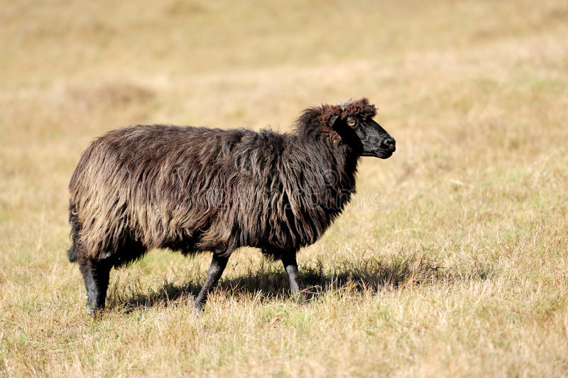 Download Sheep on a field stock image. Image of maternal, animal - 27472619